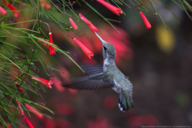 Humming Bird in Loreto Bay