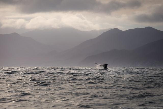 Humpback Whale, Loreto, Mexico