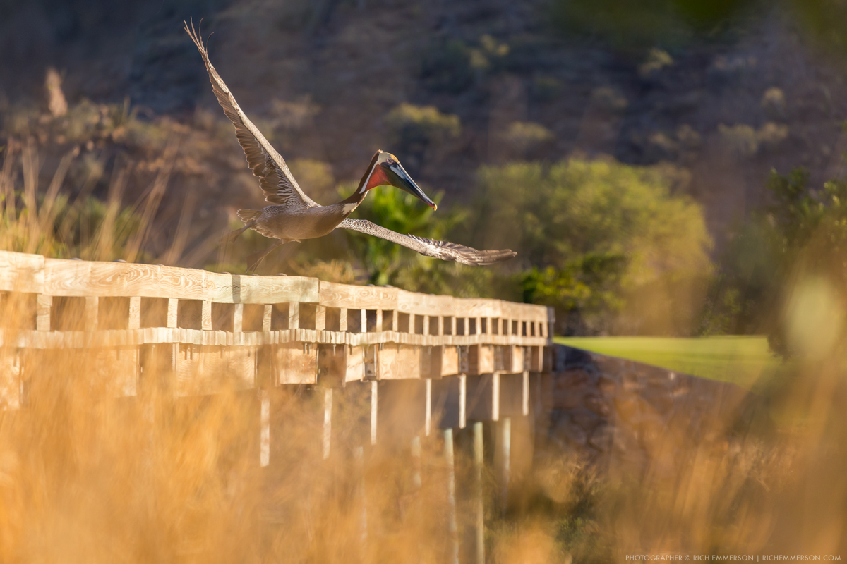 Pelican taking off Bridge in Loreto, Mexico